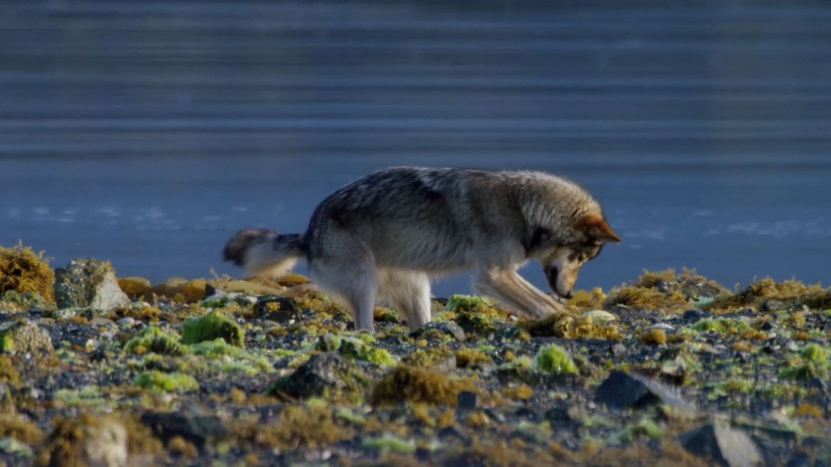 Coastal wolf foraging in rocky intertidal