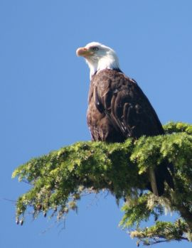 Bald Eagle on Vancouver Island