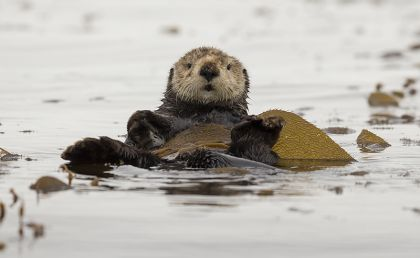 sea otter wrapped in kelp