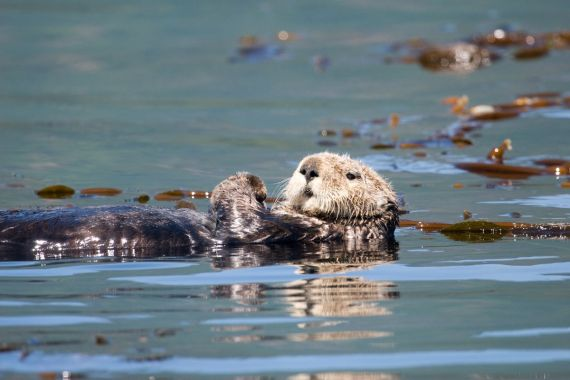 male sea otter in kelp forest, west coast Vancouver Island