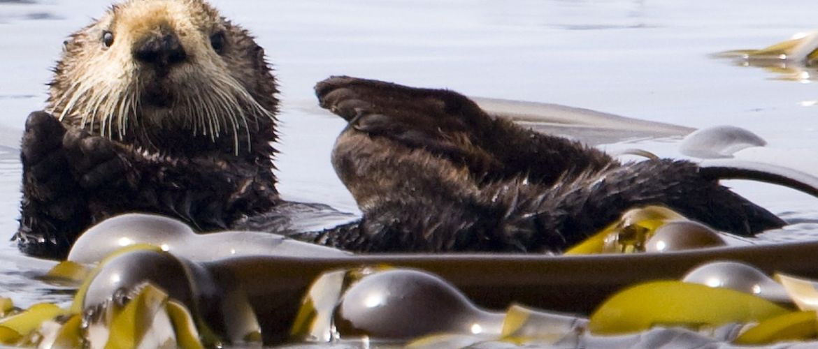 Vancouver Island Sea Otter Viewing While Sea Kayak Touring, Kyuquot, BC