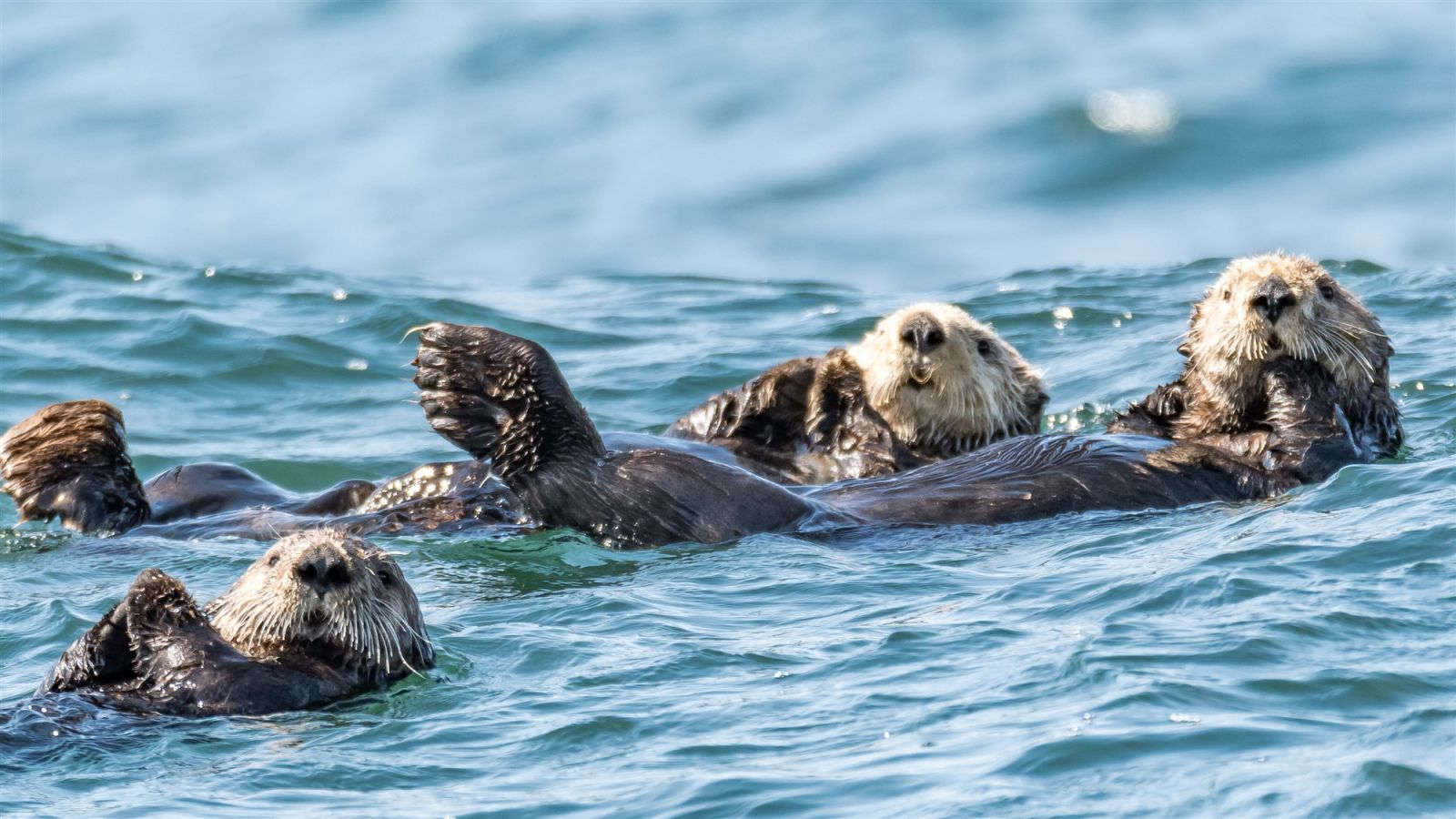 sea otters riding the ocean swell