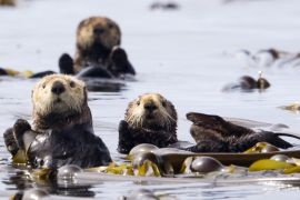 Sea Otters Swimming off Vancouver Island, British Columbia