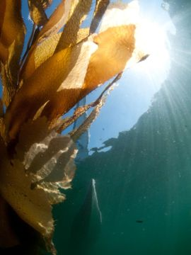 Giant Leaf Kelp