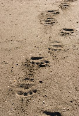 Black Bear Prints in the Coastal Golden Sands of Vancouver Island