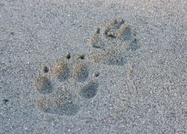wolf tracks on beach