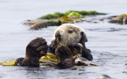Kayaking With Otters