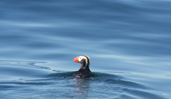 Tufted Puffin near West Coast Expeditions' base camp