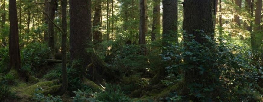 Responsible Ecotourism: Panorama of the Forest Floor on Vancouver Island