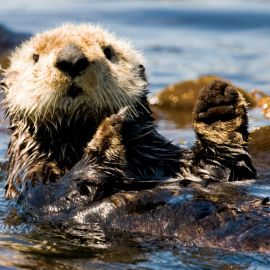 Kayaking With Sea Otters Near Spring Island, Vancouver Island, BC