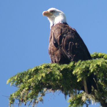 Bald Eagle in Kyuquot, BC