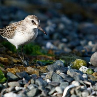 Birds, Wildlife and Ecology with West Coast Expeditions - The Western Sandpiper