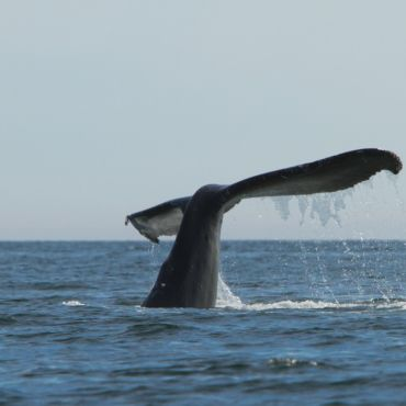 humpback whale tale near the Bunsby Islands